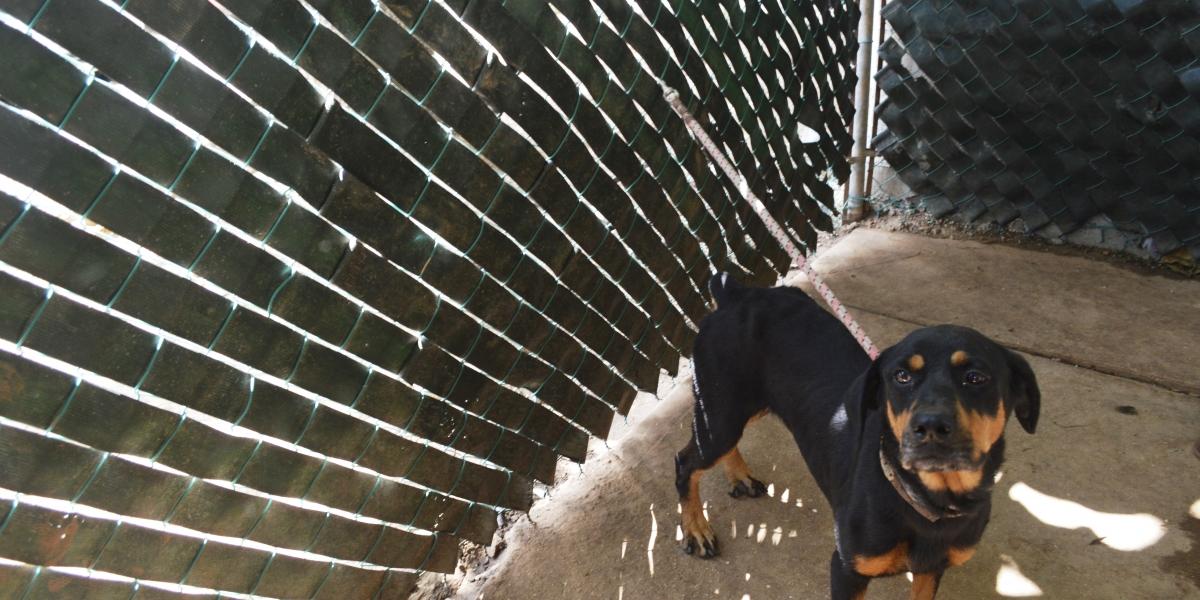 Senado aprueba penalizar peleas de perros hasta con 5 años de cárcel