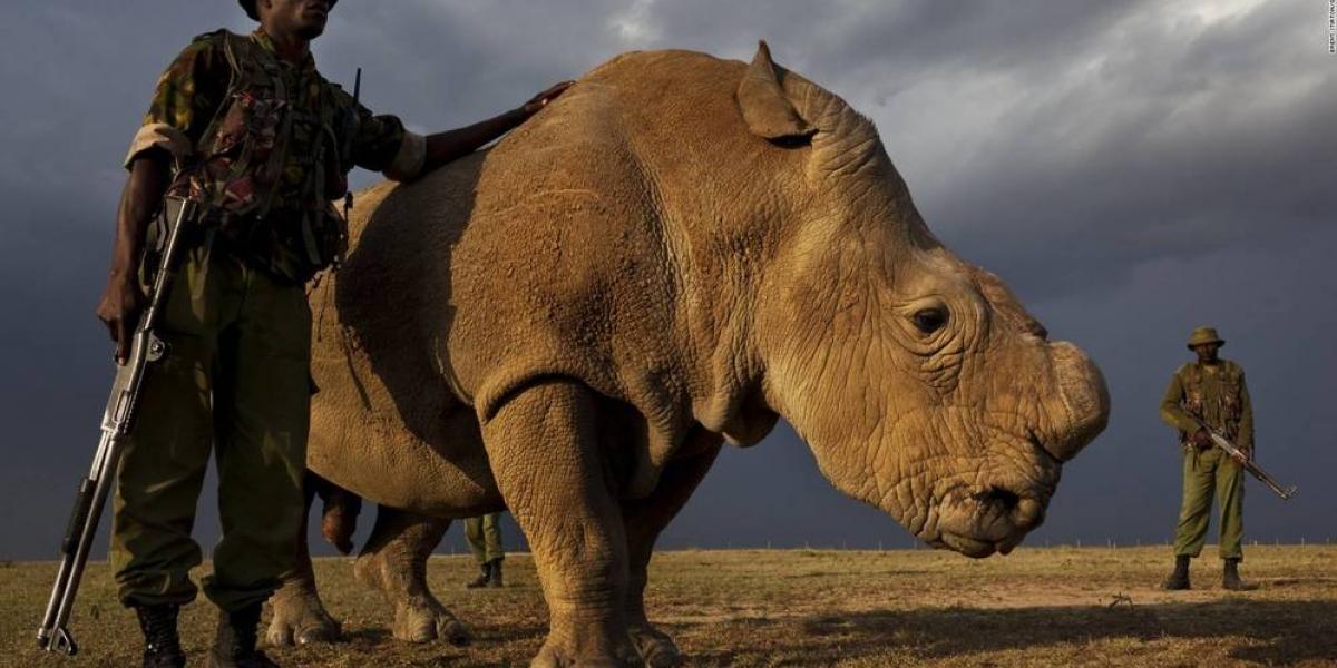 Último rinoceronte blanco del mundo busca el amor en Tinder