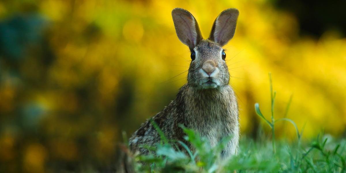 United Airlines ahora investiga la muerte de un conejo en uno de sus vuelos
