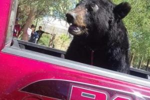 PROFETA resguarda oso negro transportado en caja de camioneta pick up