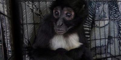 Mono araña entregado a Conap es trasladado a Auto Safari Chapín