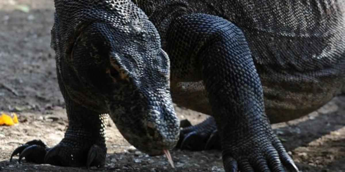 Dragón de Komodo ataca a turista en Indonesia