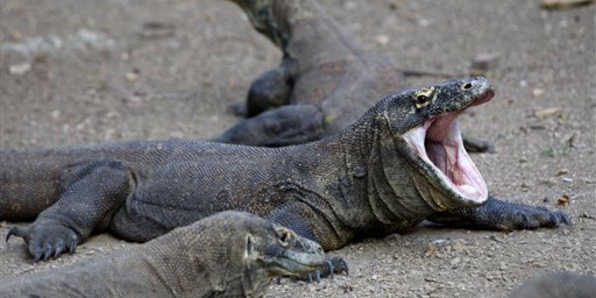 """Dragón de Komodo ataca a turista en Indonesia por """"curioso"""""""