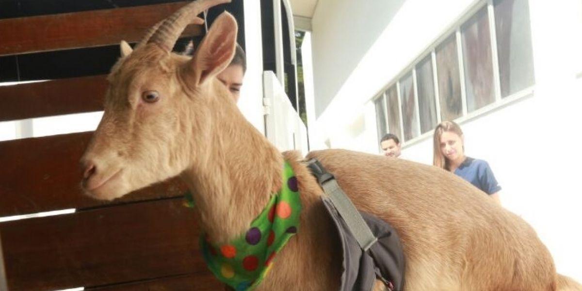 Lulú, la primera cabra en Colombia que puede caminar con prótesis en sus patas delanteras