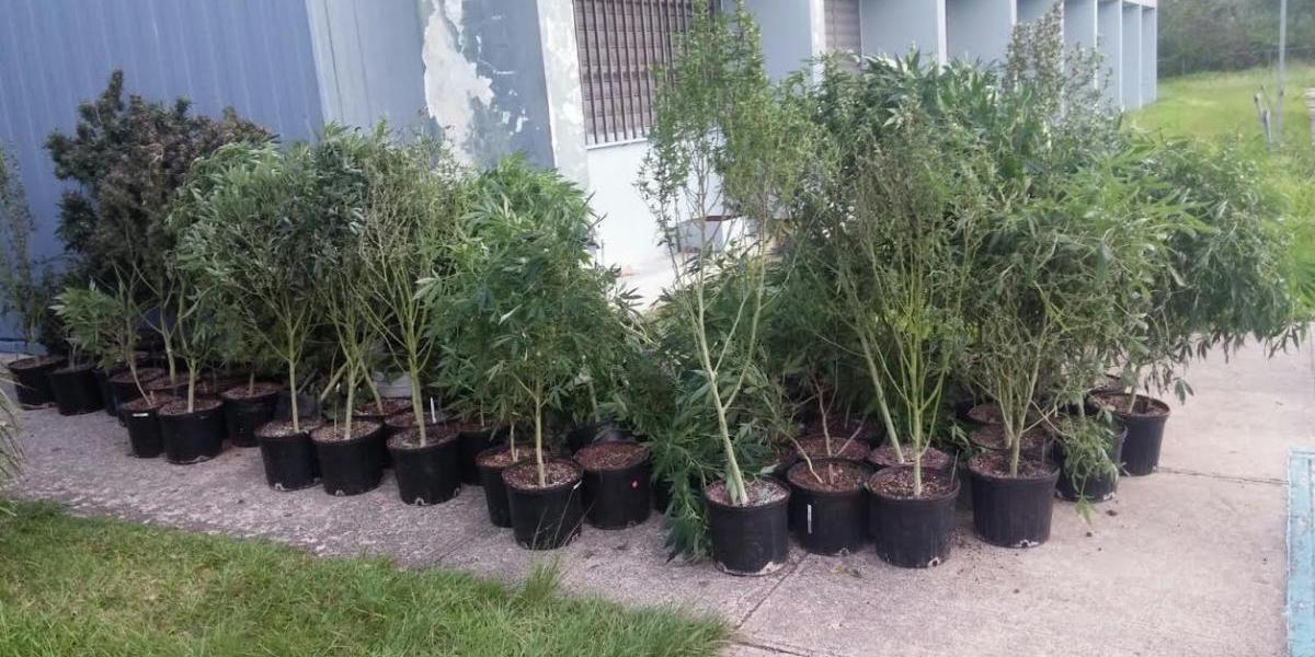 Incautan marihuana, armas y dinero en operativo en San Juan