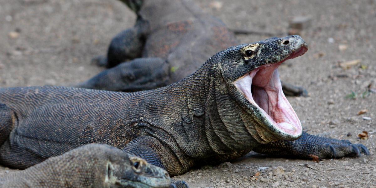 Dragón de Komodo muerde a turista en Indonesia