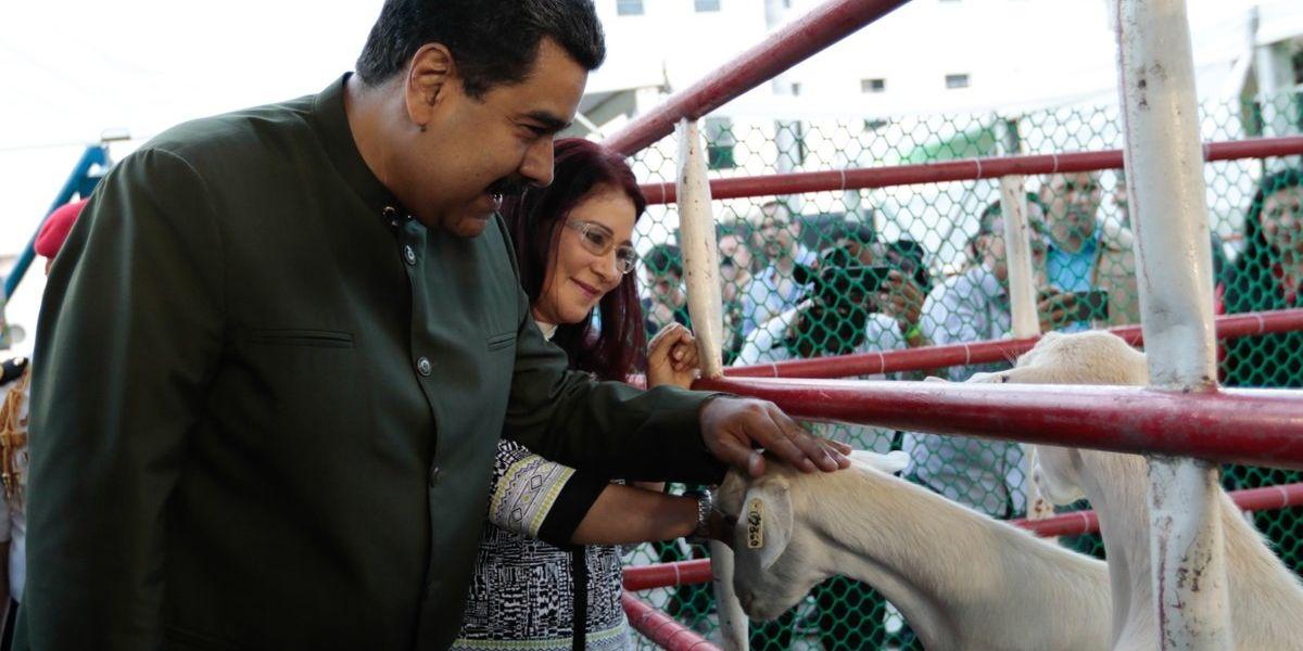 Nicolás Maduro habló con unas vacas y les exigió apoyo para la Constituyente