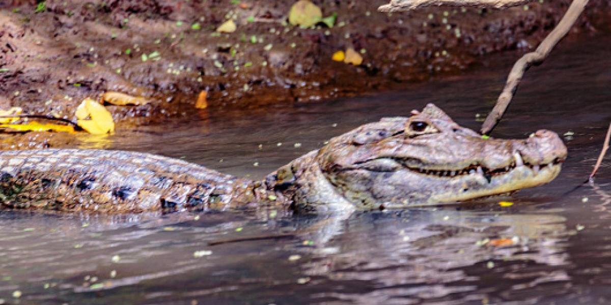 Niña es atacada por caimán en Florida
