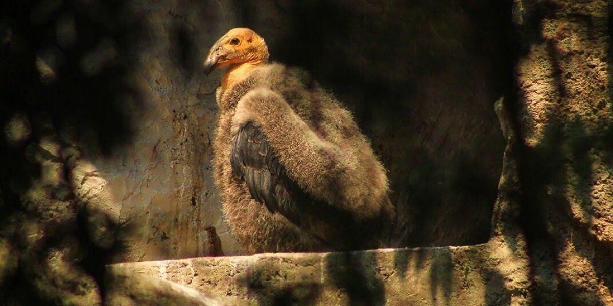 Llaman a elegir nombre de cóndor del Zoológico de Chapultepec