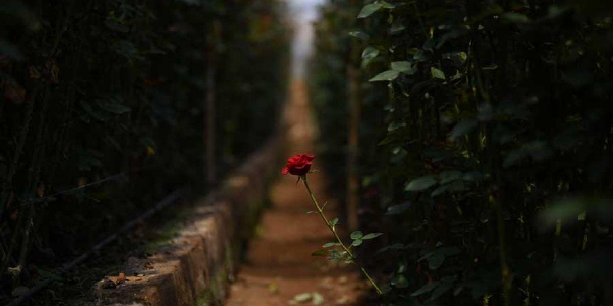 Rosas de San Juan Sacatepéquez engalanan todos los años a las madres