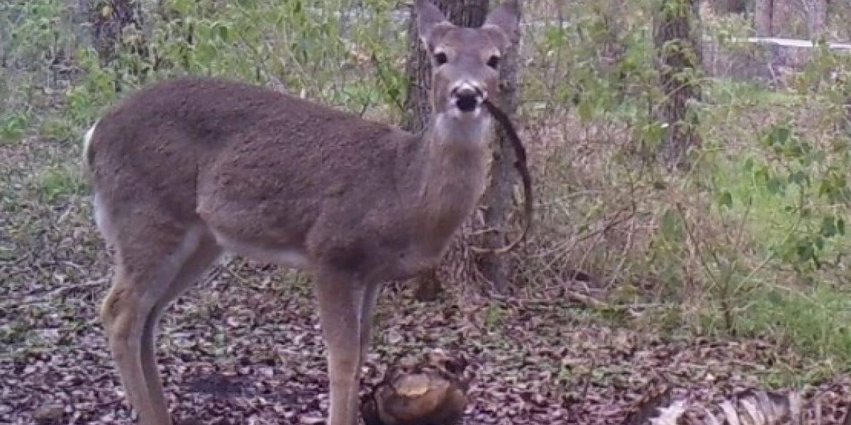 Científicos sorprenden por primera vez a un ciervo comiendo restos de un cadáver humano