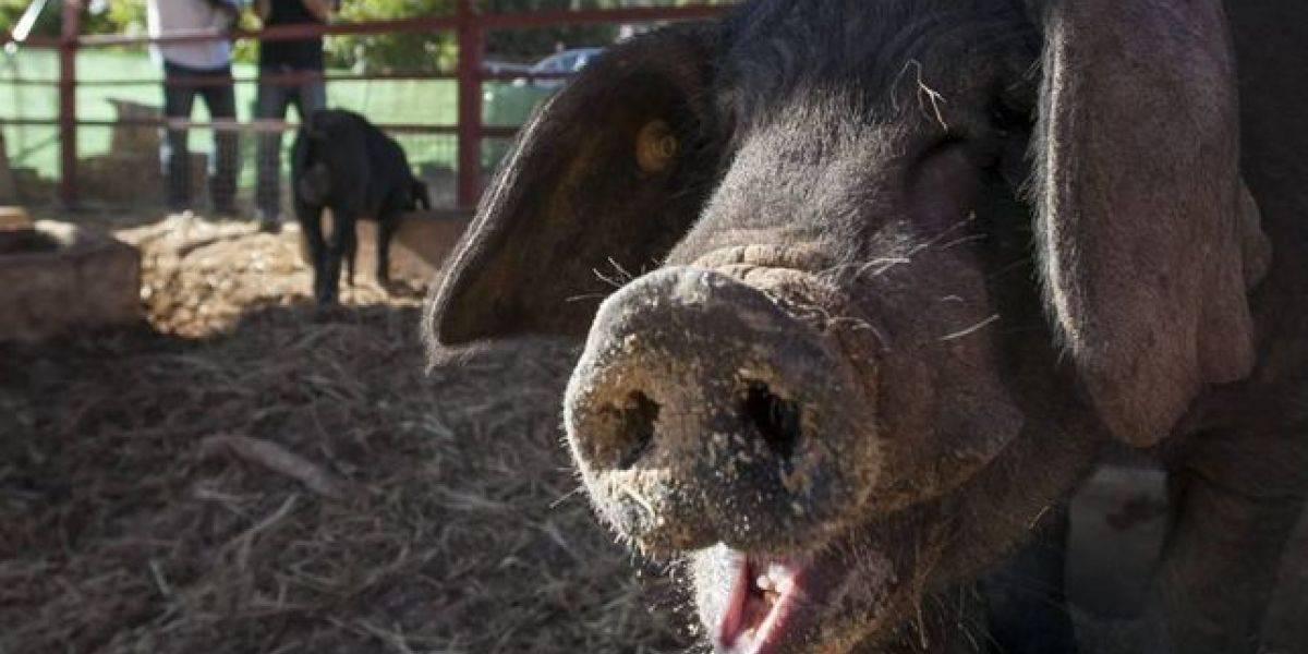 Se fueron al chancho: cerdos ignoran su comida y asesinan a mordiscos a cuidador