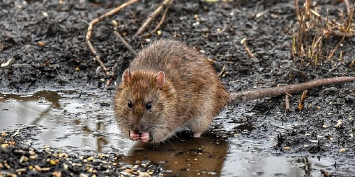 Especie de rata puede reproducirse como macho o hembra