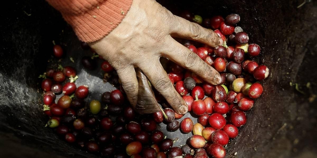 El café, un camino para resurgir del conflicto en Colombia