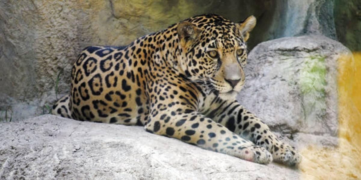 Jaguar escapa de su jaula y ataca un mono en Texas