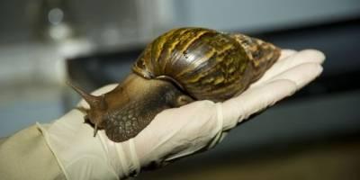 Todo lo que debes saber sobre el peligroso molusco — Caracol gigante africano