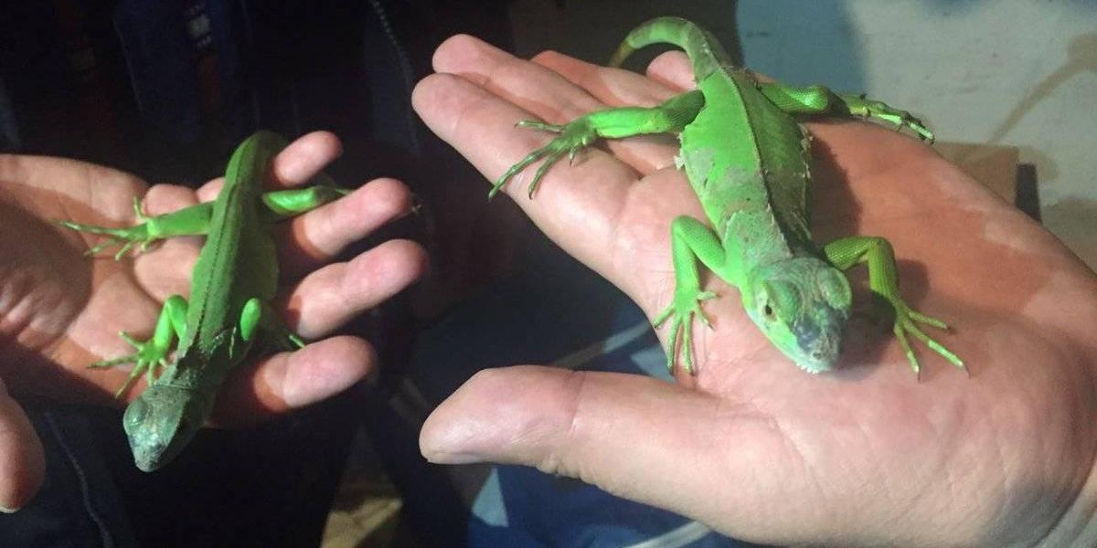 Rescatan a dos iguanas y capturan a supuestos traficantes de animales