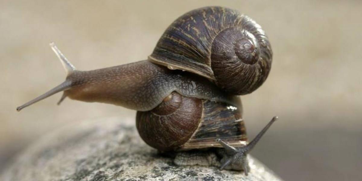 La triste historia de Jeremy: el caracol que no puede aparearse por ser zurdo