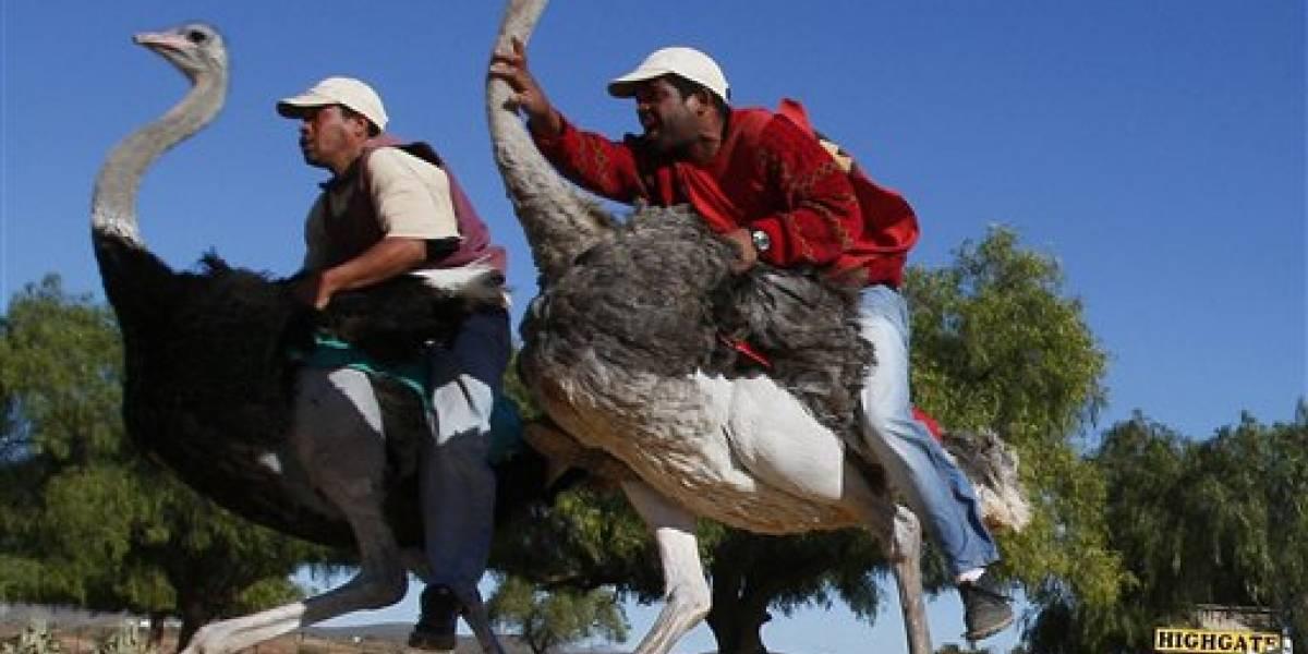 Dos granjas en Sudáfrica dejan de ofrecer paseos en avestruz