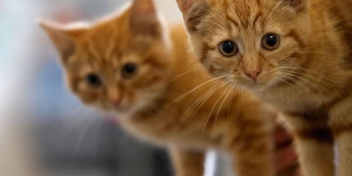 Gatitos, la solución japonesa para lidiar con el estrés en el trabajo
