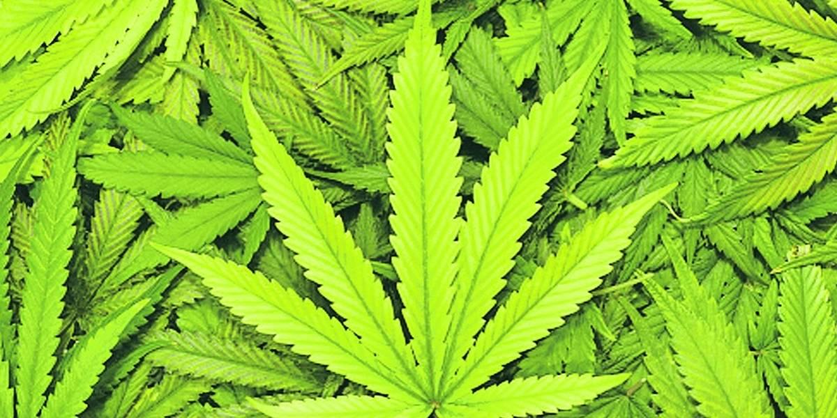 Pulseo por impuestos a cannabis medicinal
