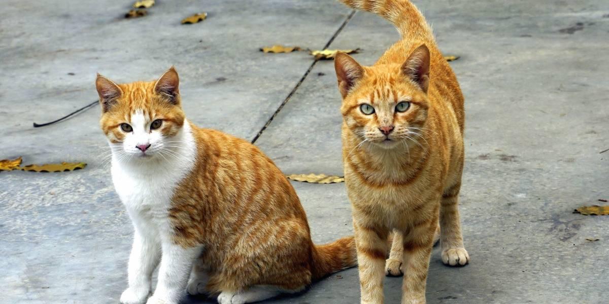Gatos, satanizados por transmitir enfermedades a humanos