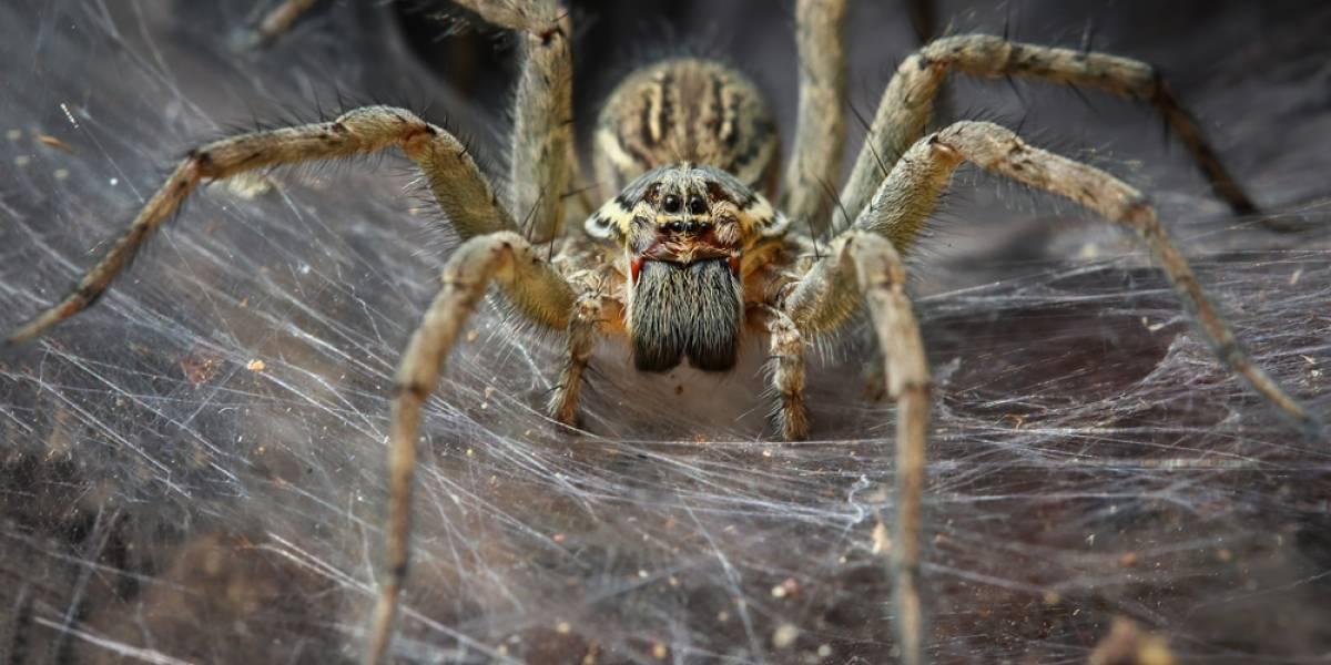 FOTOS. Araña gigante descubierta en Australia causa terror en redes sociales