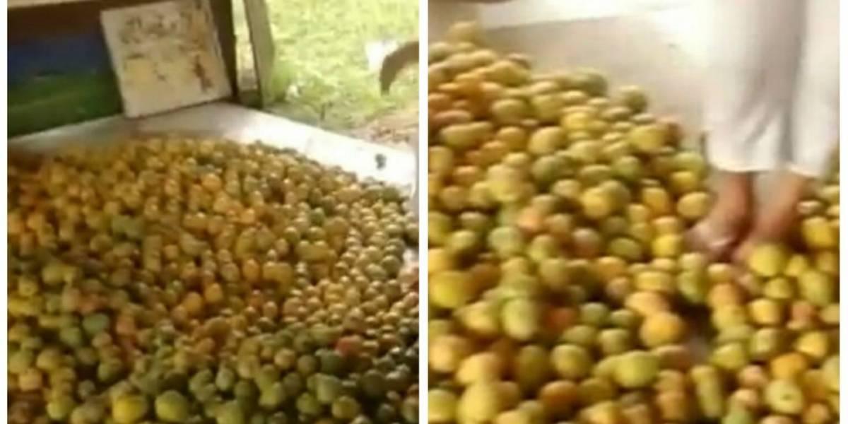 500 toneladas de mango se pierden en Atlántico por falta de comercialización
