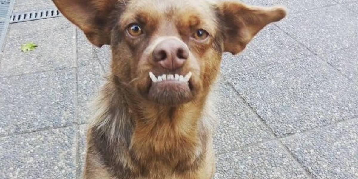 El quiltro chileno que se transformó en meme y es una estrella en el mundo menos en Chile
