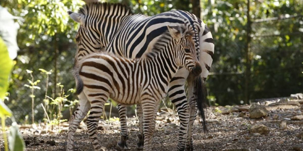 Satisfactorio crecimiento de cebra en zoológico de Mayagüez