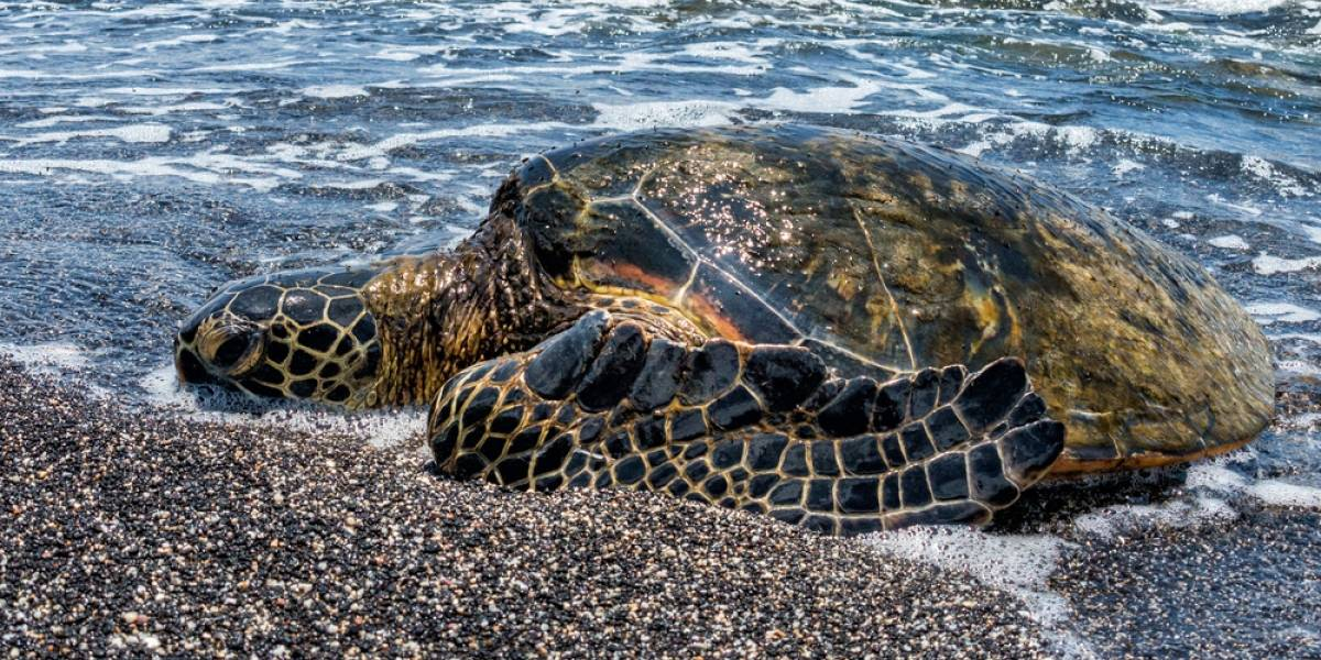 Voluntarios ayudan a tortuga marina de 400 libras a volver al mar