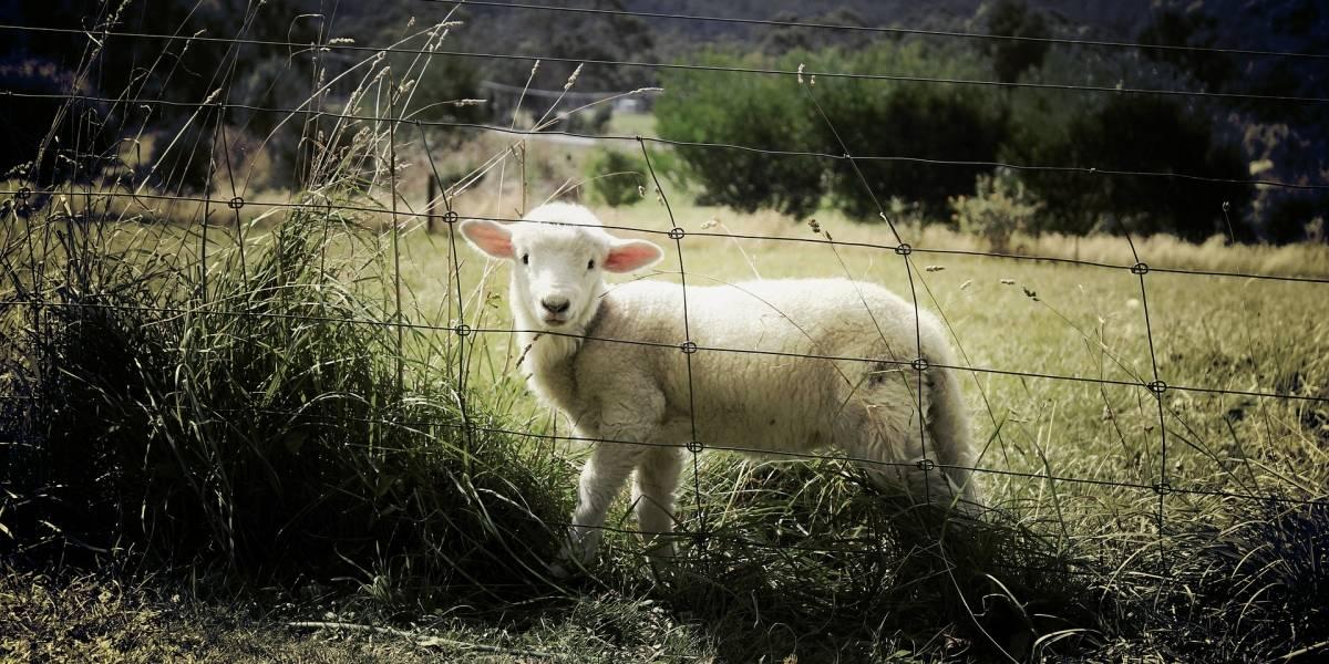 Investigadores crean un programa informático para detectar a ovejas tristes