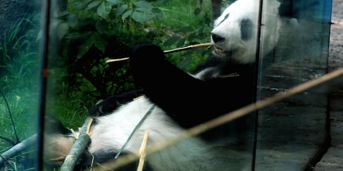 Celebran 42 años de la conservación de pandas en la Ciudad de México