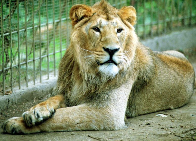 Muere César Fernando, el león más querido por los pereiranos