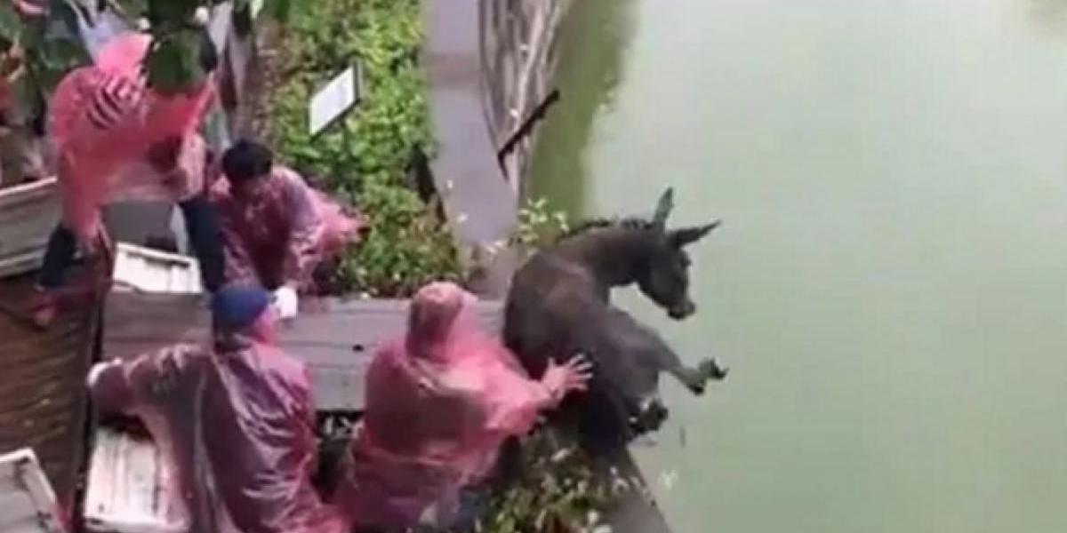 Arrojan burro vivo para alimentar tigres hambrientos