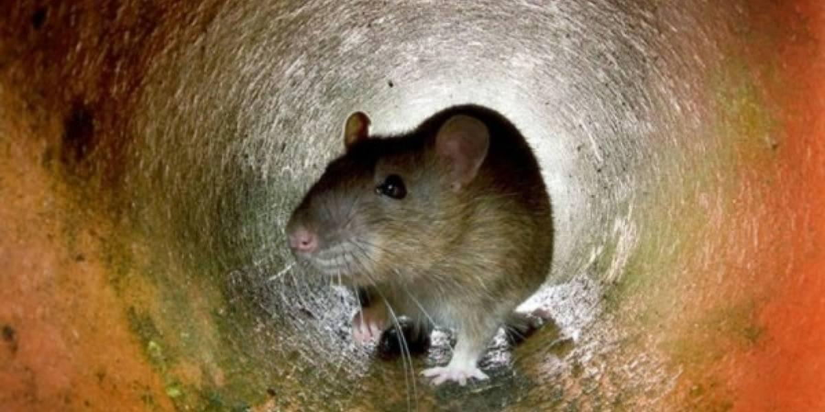 ¿Una señal de catástrofe? Miles de ratas invaden aldeas de una isla de Birmania