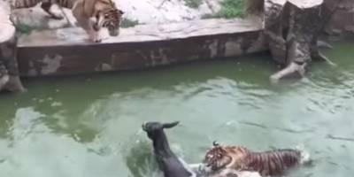 Arrojaron un burro vivo para darle de comer a tigres hambrientos