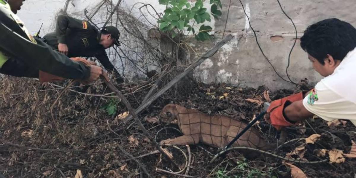 Salió a pasear a sus perros y se encontró con un puma en zona céntrica de Riohacha