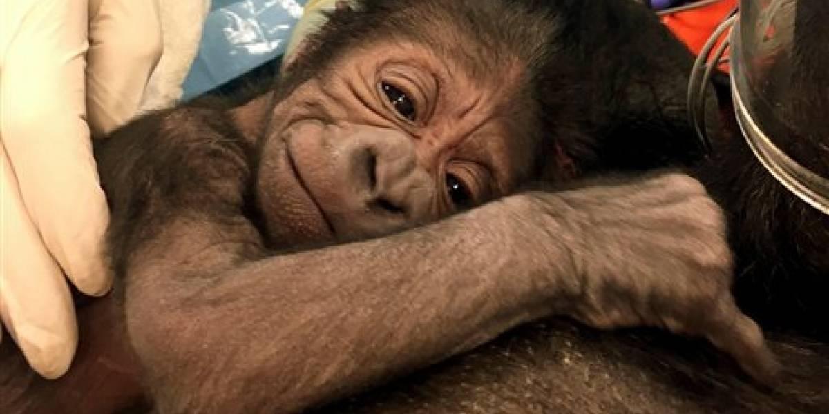Gorila da a luz con ayuda de médicos en zoo de Filadelfia