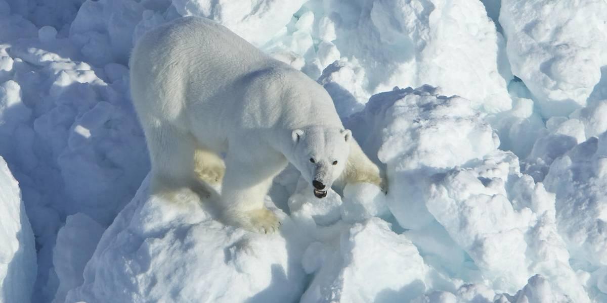 Osos polares gastan más energía por calentamiento global