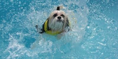 Atividade de zero impacto, natação beneficia cães obesos e com problemas articulares