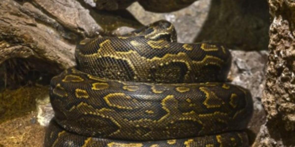 Así se ve cuando la serpiente más grande y agresiva de África pone sus huevos