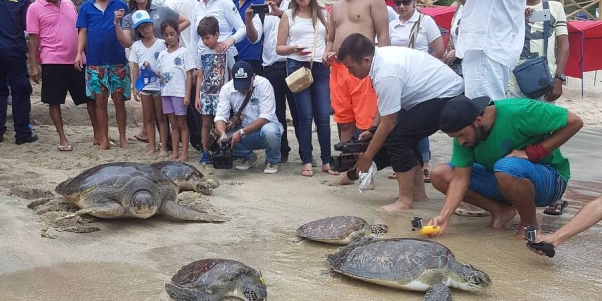 30 tortugas carey y 2 tiburones rehabilitados fueron liberados en el acuario de Santa Marta