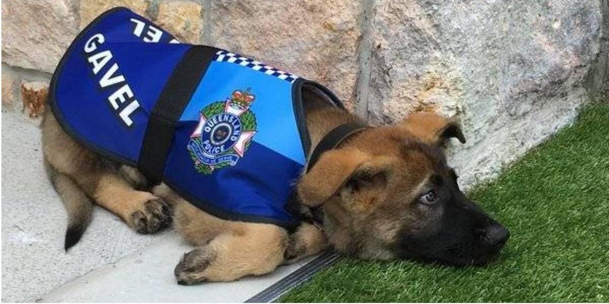Gavel, el perro policía que fue despedido por ser demasiado tierno