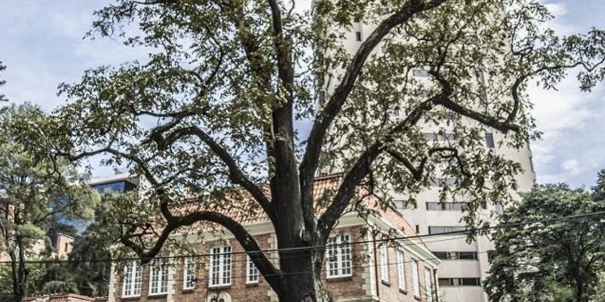 Así será restaurado El Nogal, uno de los emblemáticos árboles de Bogotá