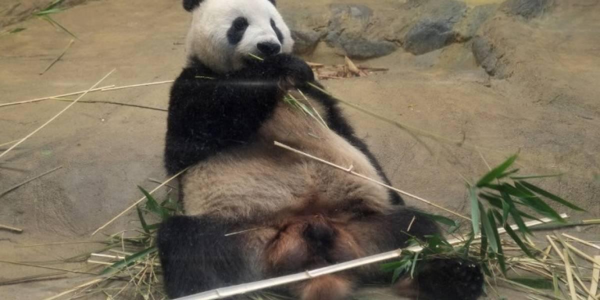 Panda nacido en Japón goza de buena salud