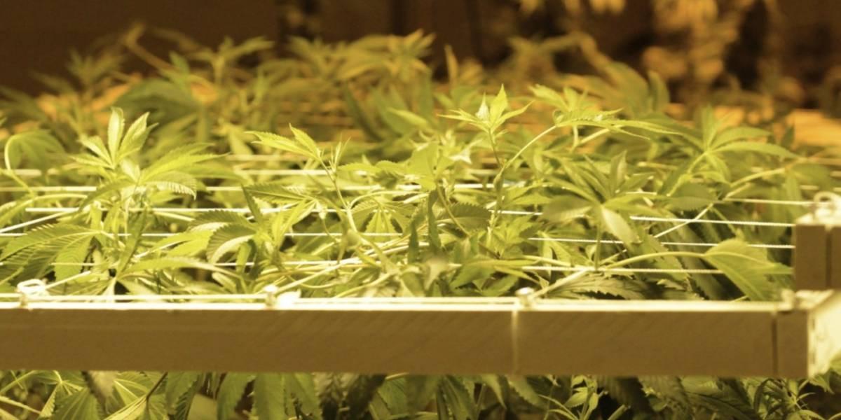 Universidad Nacional abre curso para sembrar Cannabis