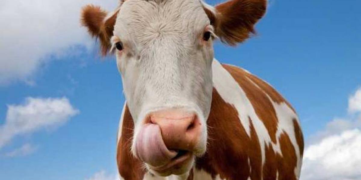 El sorprendente número de personas en EEUU que cree que la leche con chocolate se extrae de vacas café