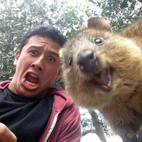 El quokka es un marsupial australiano en peligro de extinción.