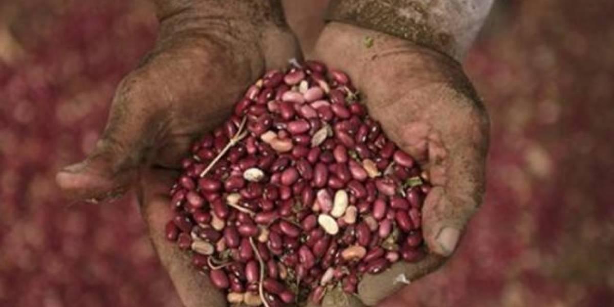 Ministerio de Agricultura reporta daños en cultivos de maíz y frijol por lluvia